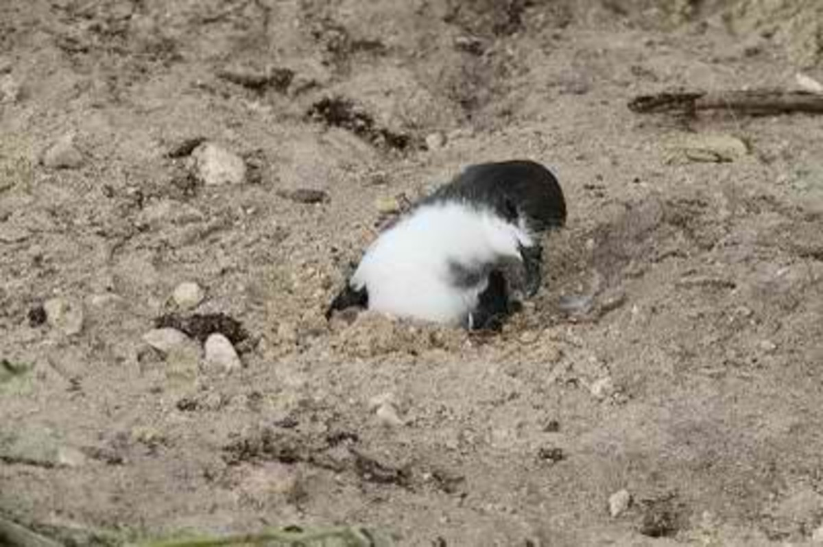This is a Bonin Petrel stuck in the sand and rescued after the tsunami left Midway Atoll National Wildlife Refuge.