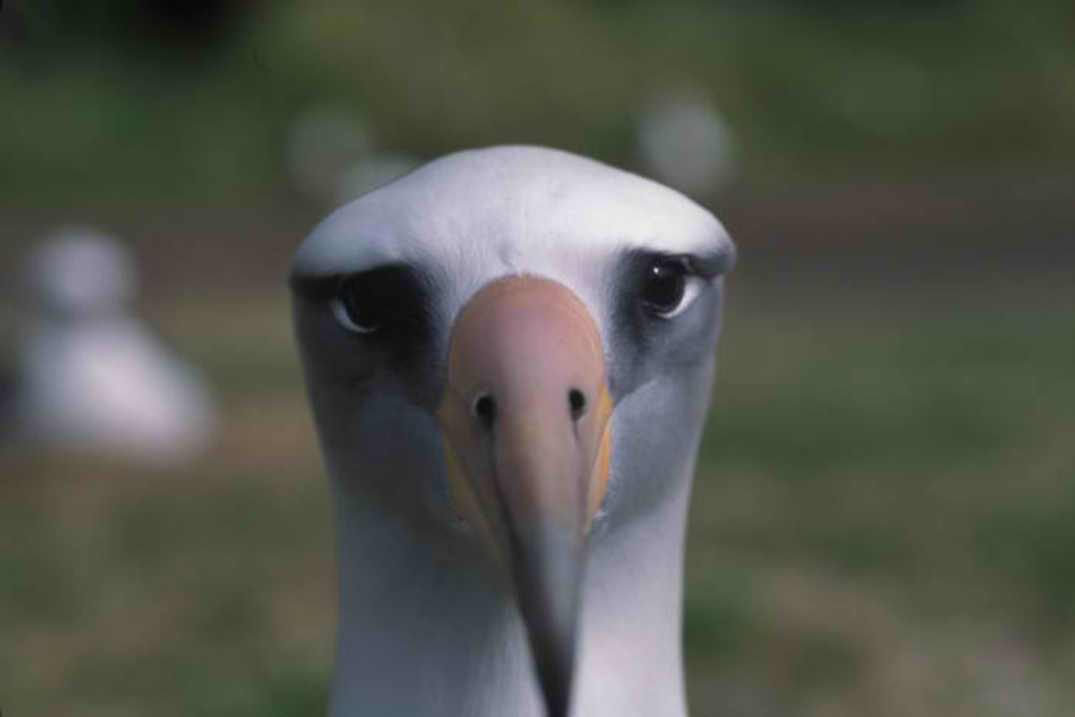 A Laysan Albatross in the South Pacific.
