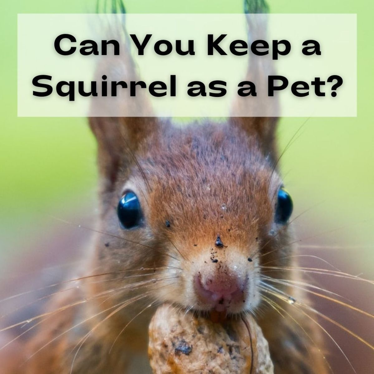 Some people might wonder if squirrels can be kept as pets, especially if they find orphaned wild squirrels that need care.