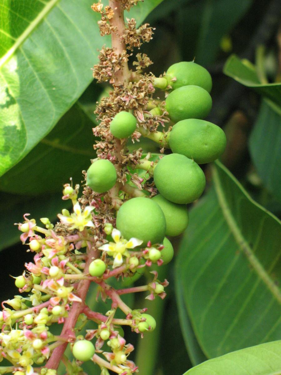 green raw mangoes on trees