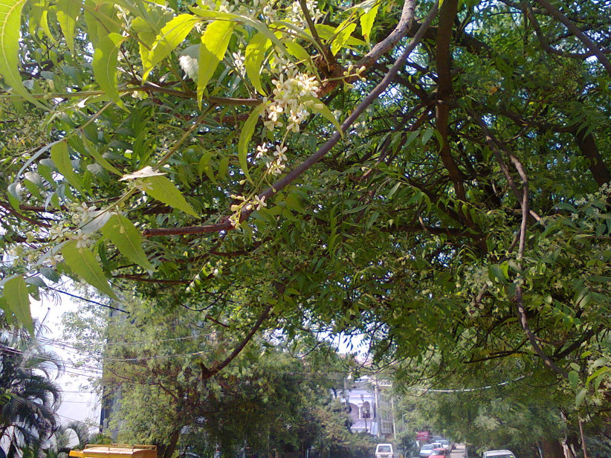 neem (Margosa) tree with neem flowers (white) on a branch