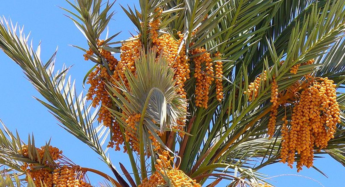 Dahab Egypt Phoeni dactylifera