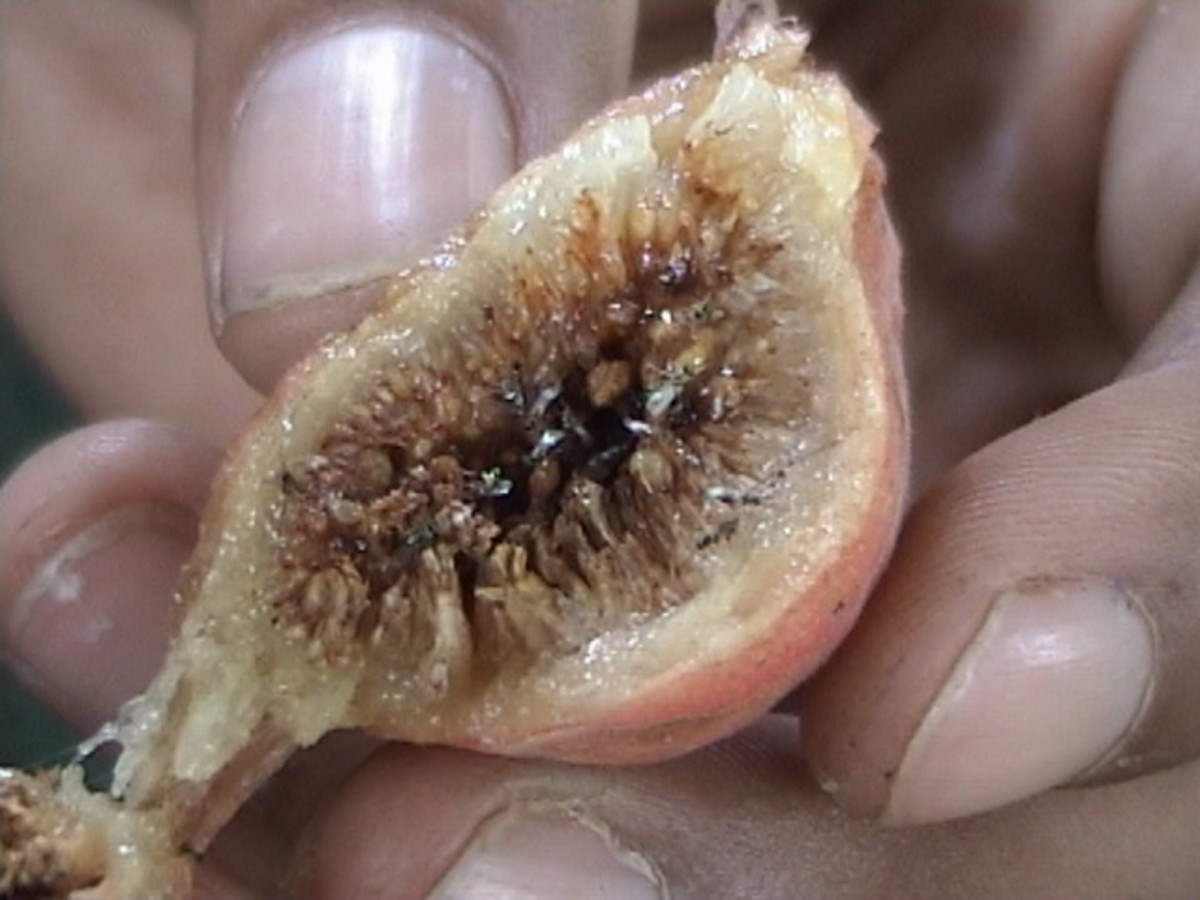 A cross-section through the fig fruit, Ficus racemosa (syn. F. glomerata) showing the syconium fruit of figs. The fruit is consists of an enlarged, fleshy, hollow receptacle which has been cut in this photo with multiple ovaries on the inside surface