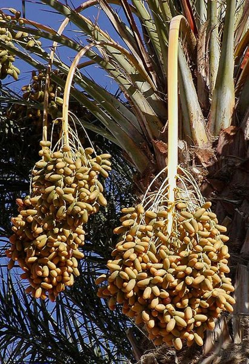 Dates on Date Palm Tree