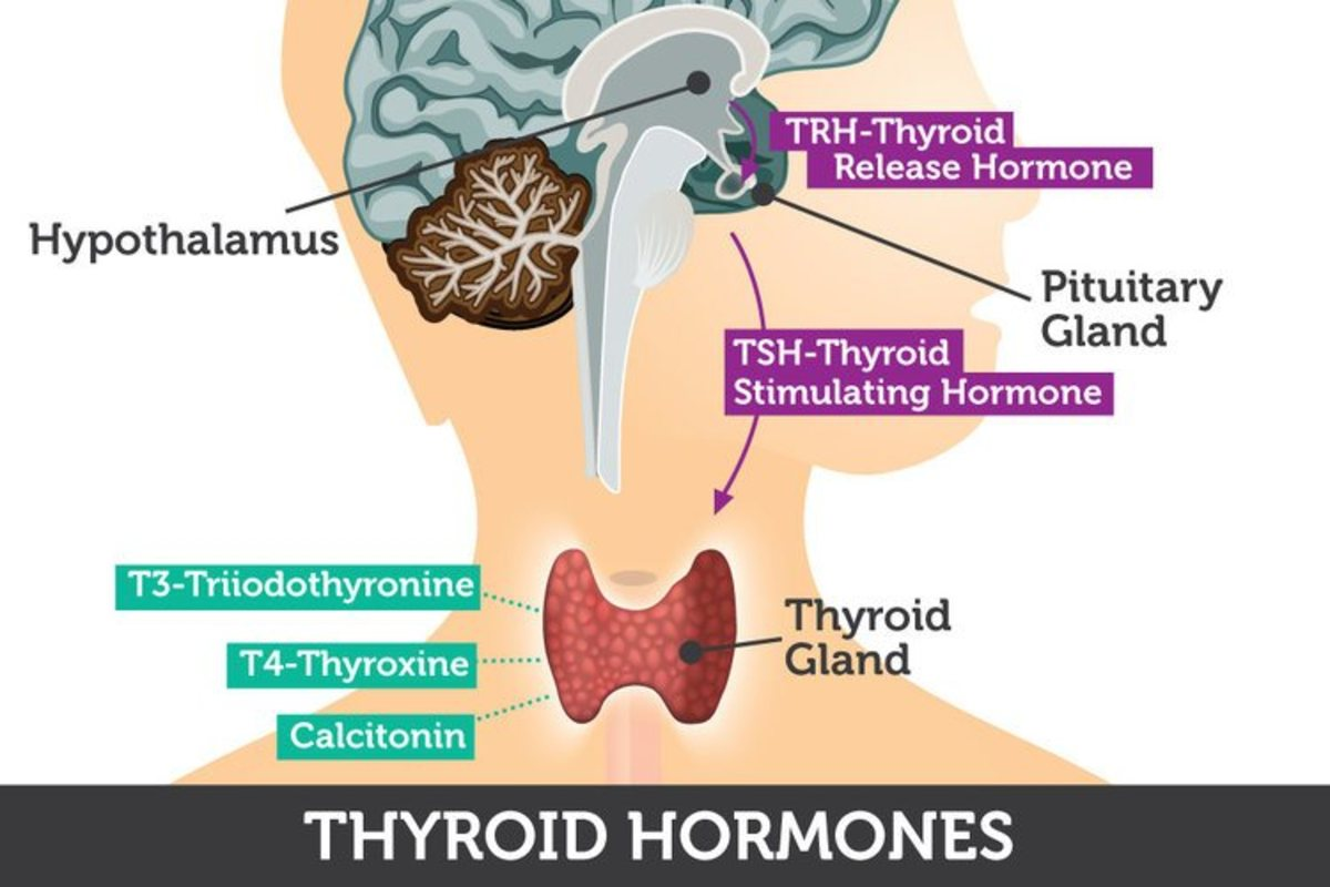 the-effect-of-thyroid-hormones-on-the-hippocampus