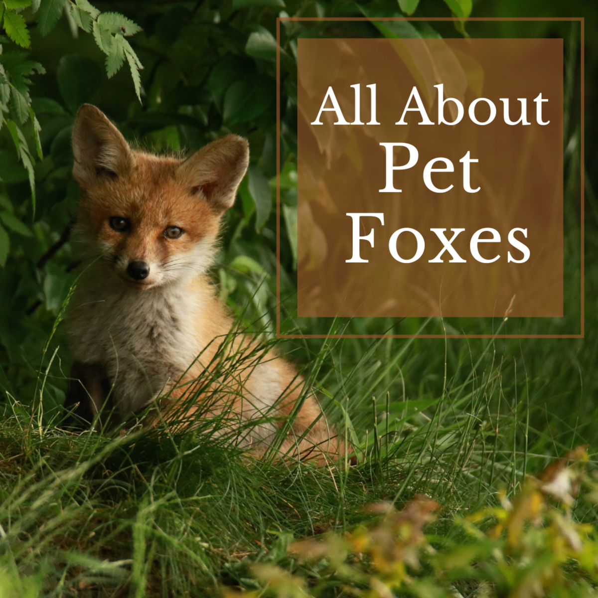 Is a fox the right pet for you?