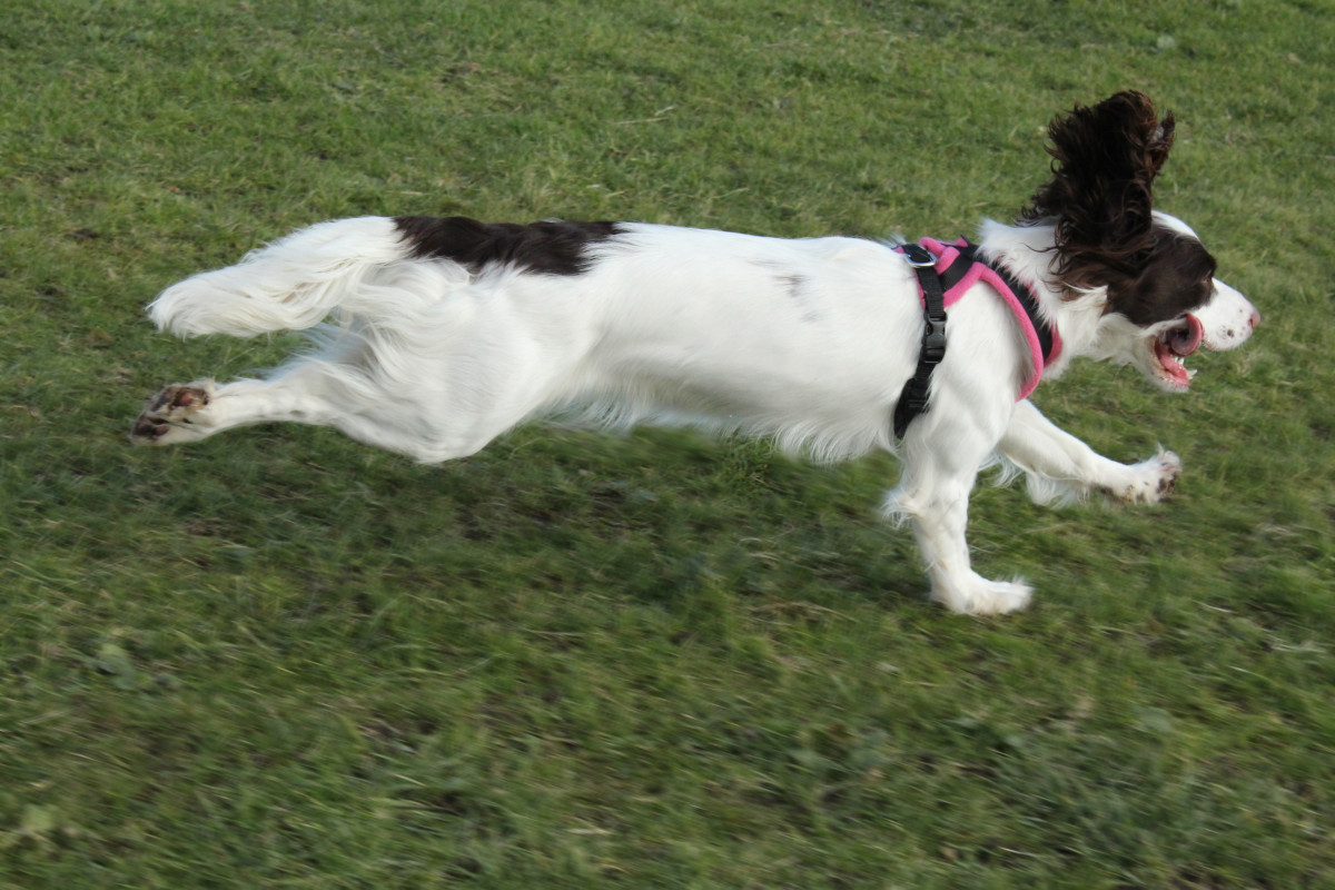 Hip Dysplasia is a condition that can limit a dog's ability to run and walk without pain