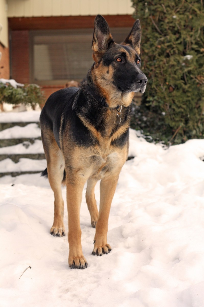 German Shepherds are a breed prone to HD