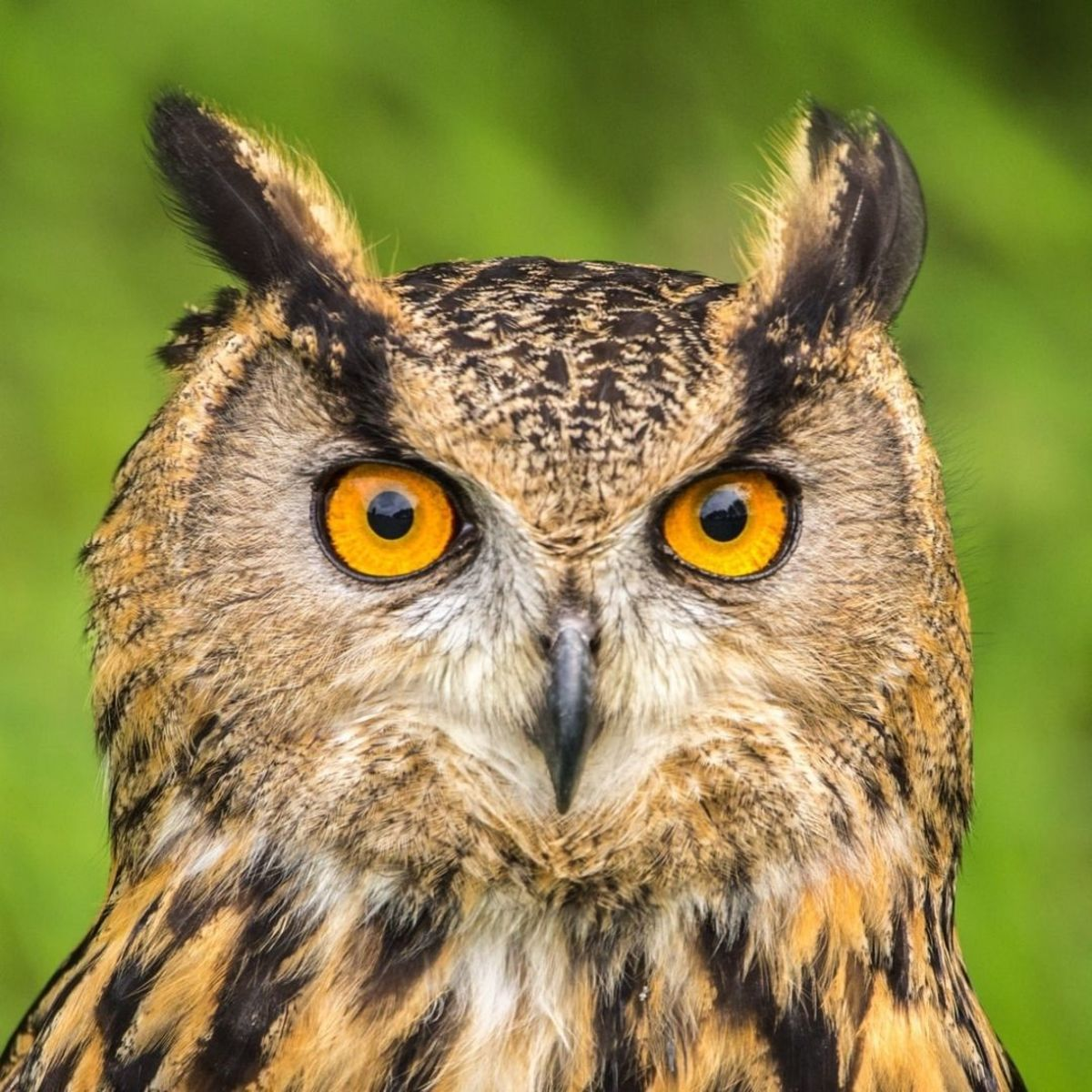 People who are interested in this species—or other owls—might want to consider practicing falconry techniques such as teaching them to fly freely and returning to their owner.