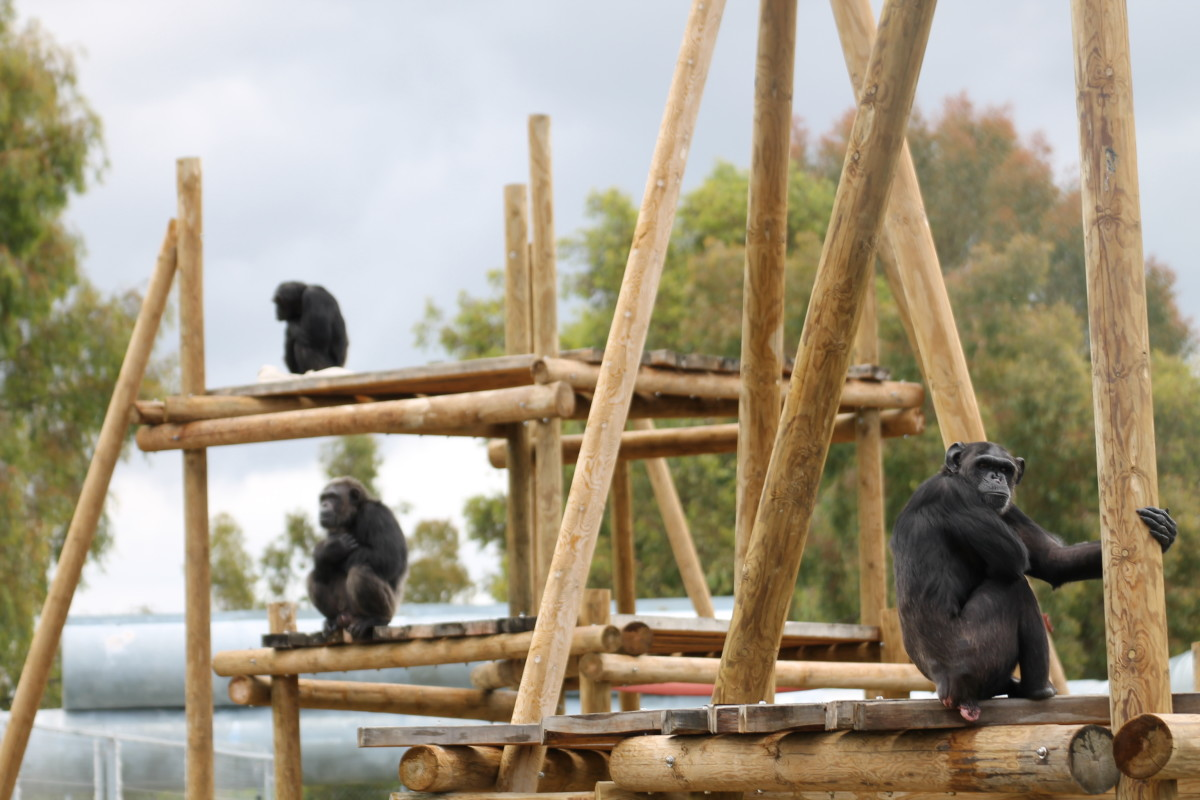 One of the three groups of chimpanzees at Rainfer