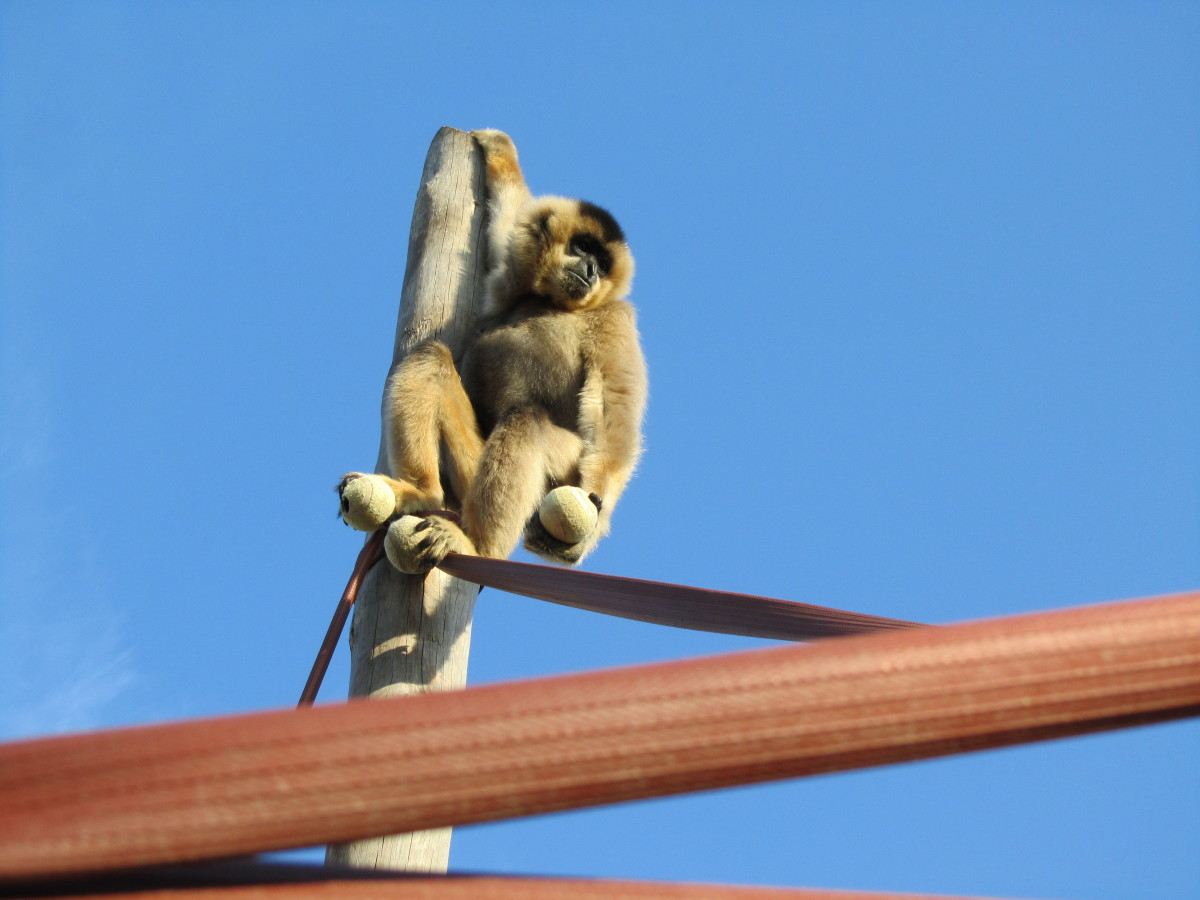 Ximene, one of the centre's (very vocal) gibbons