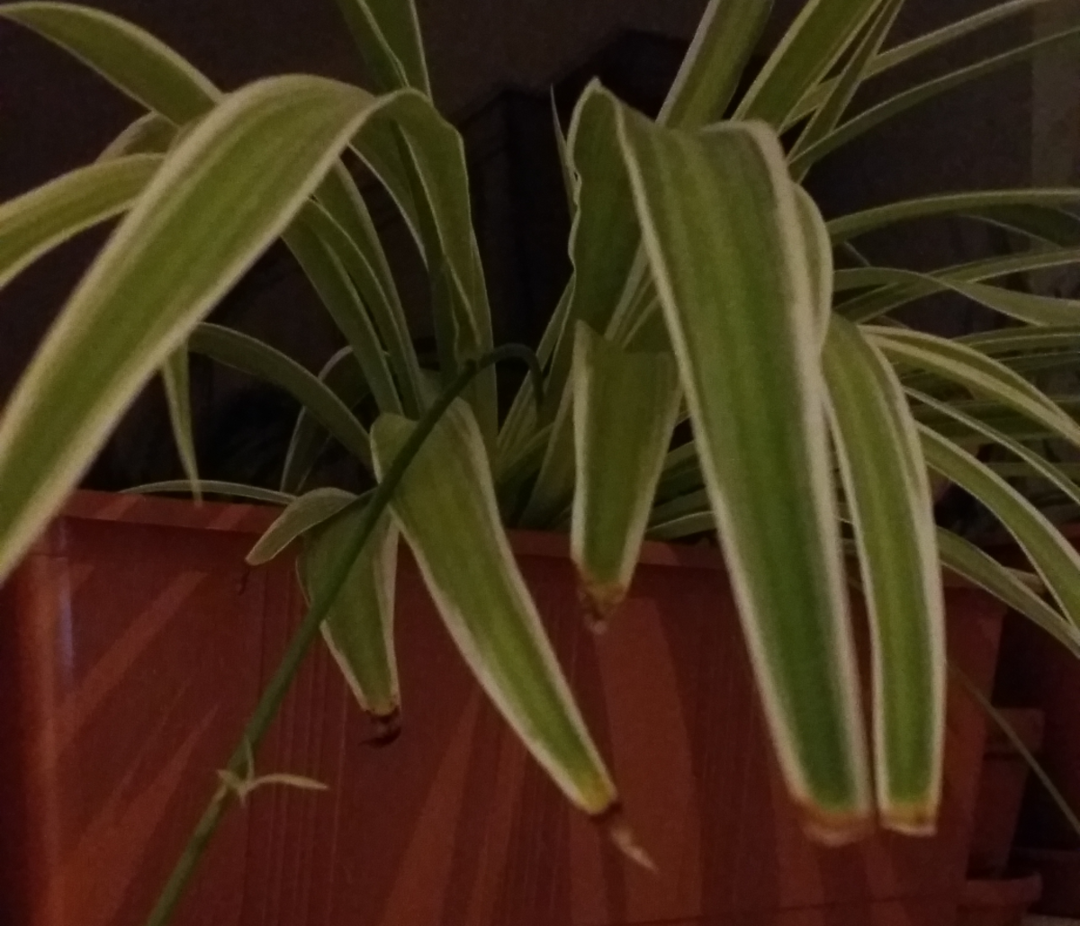 A spider plant on my windowsill that once had brown tips.