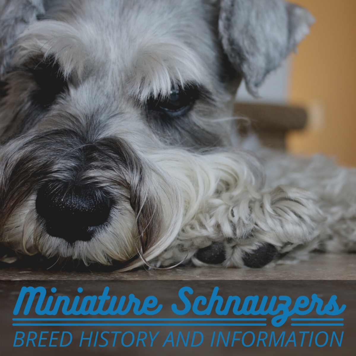 Where do Miniature Schnauzers come from and what are they like?