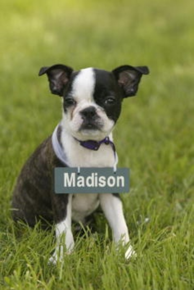 Your Teacup Boston Terrier will act the same as a normal Boston Terrier.
