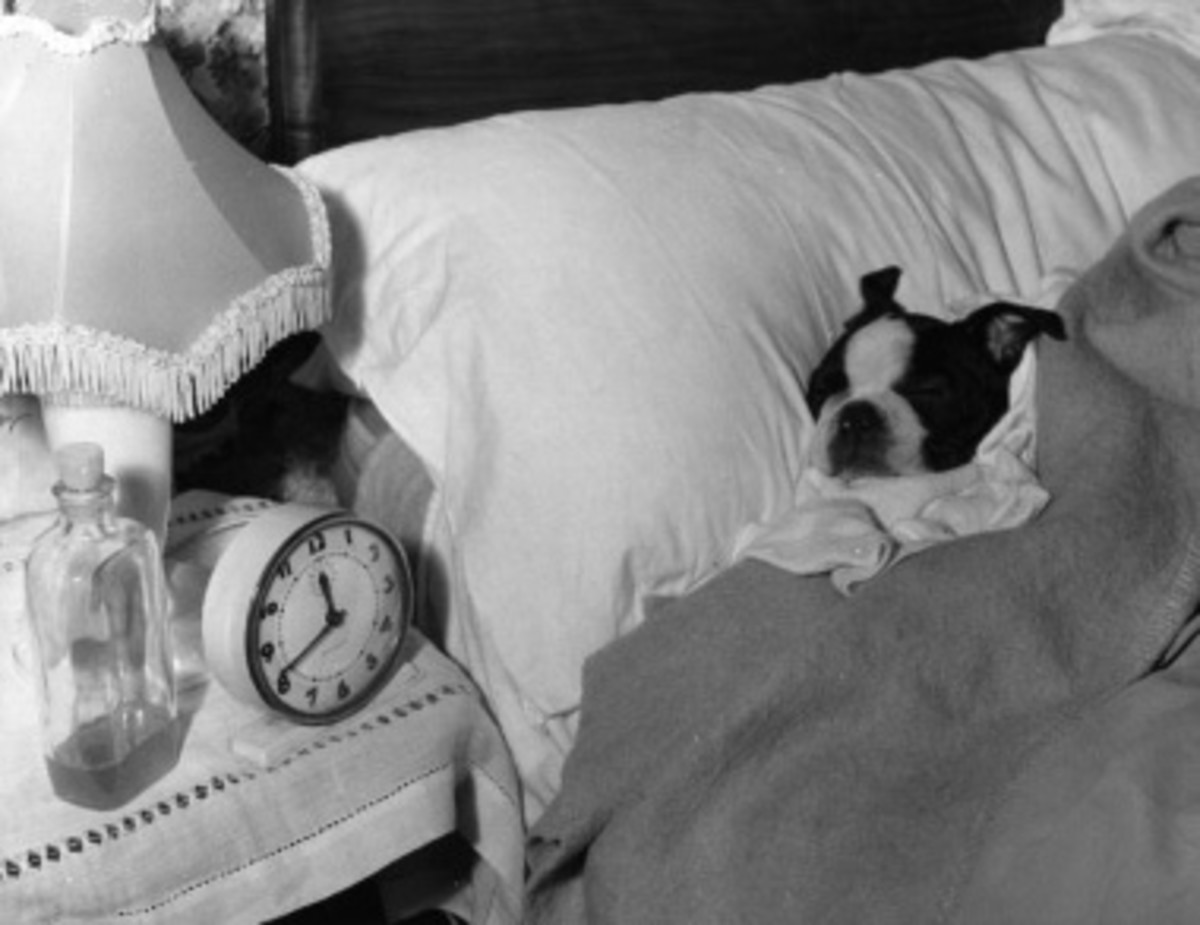 Treat your Teacup Boston Terrier well.