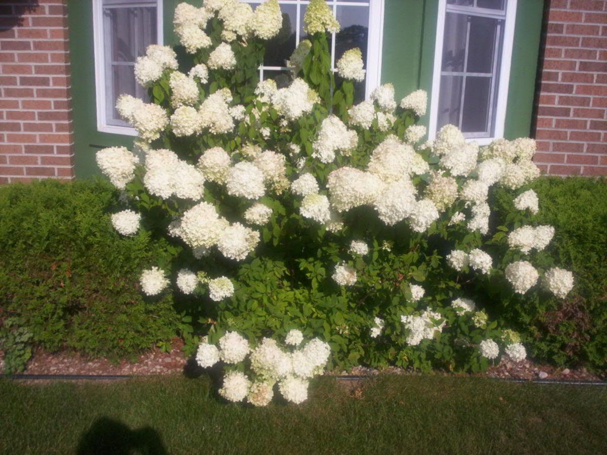 Limelight hydrangea my favorite hydrangea for Limelight hydrangea