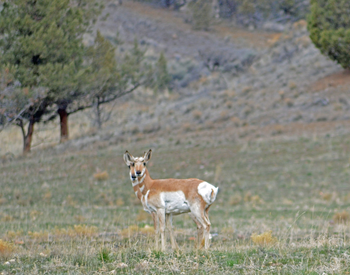 Look closely--there are 2 pronghorn standing in a mirror pose.
