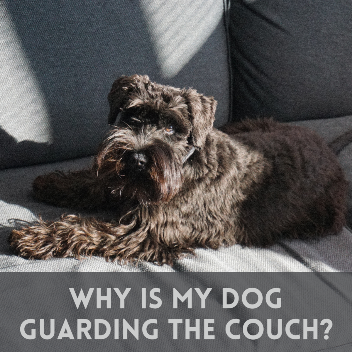 Why is your dog so protective of the couch?