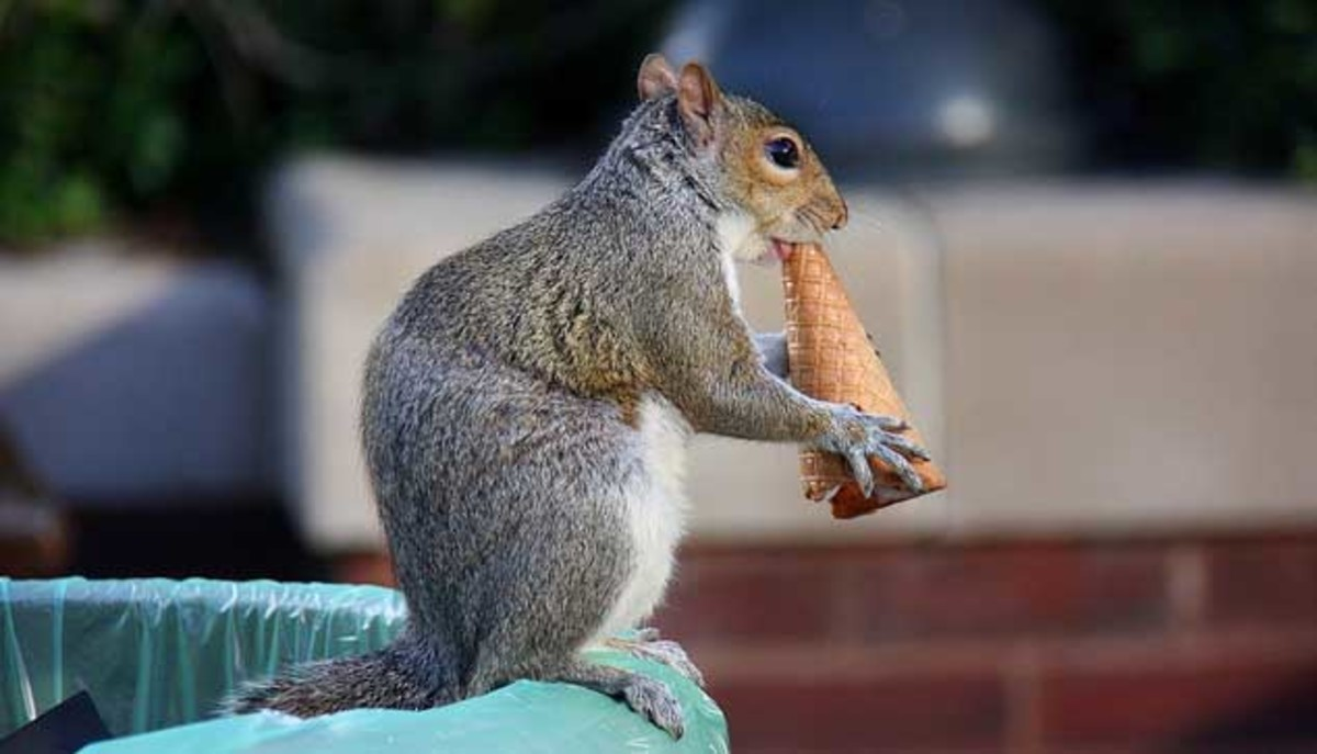 Can this squirrel eat this whole ice cream cone? In one bite? Without chewing?