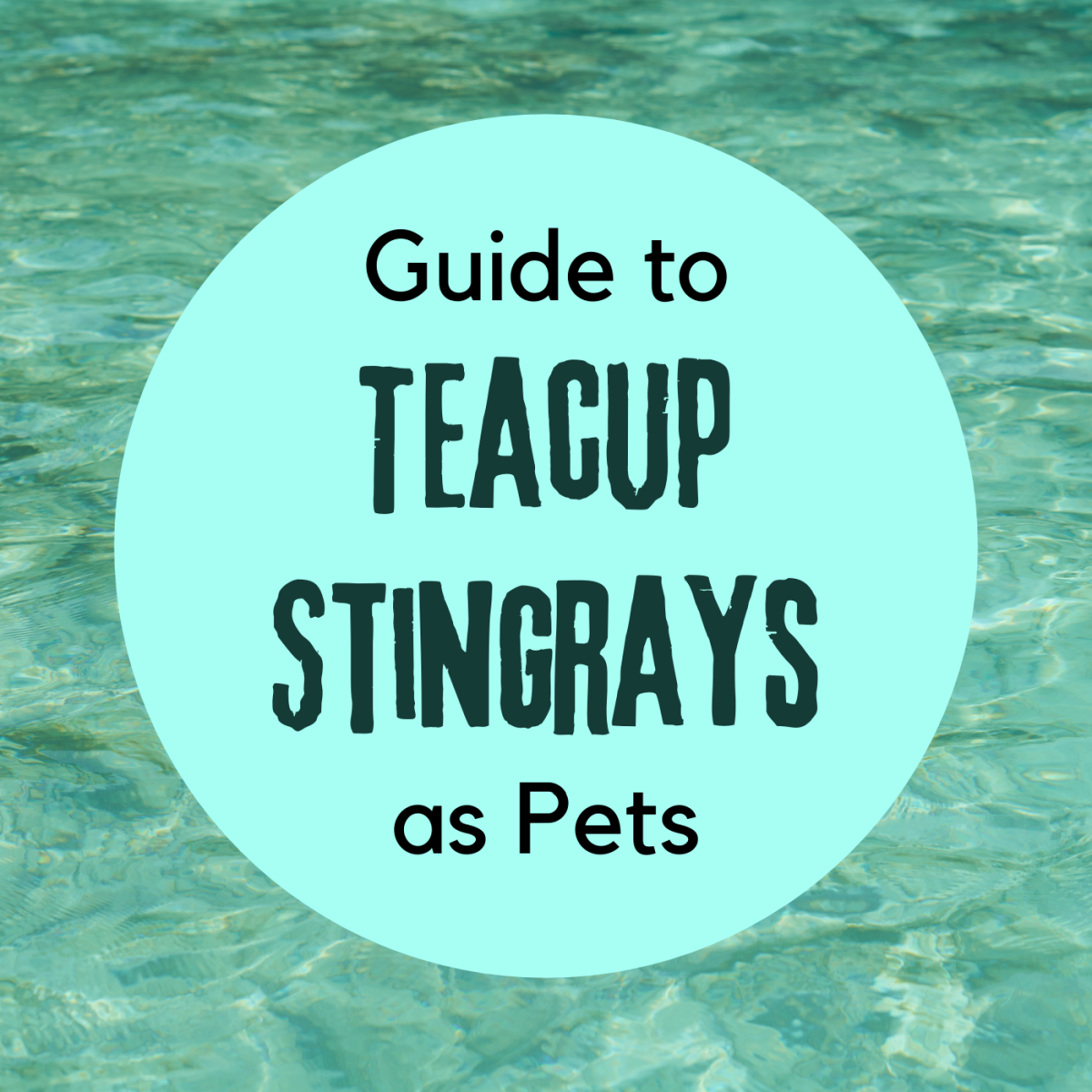 Learn about the basics of keeping teacup stingrays, from the recommended aquarium setup to the restrictions on these fish.