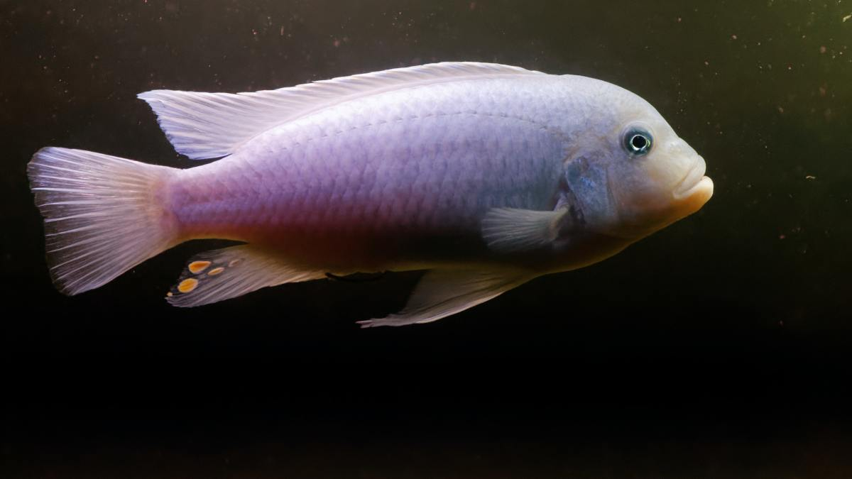 This is a lovely Cobalt Blue Zebra cichlid from Lake Malawi.