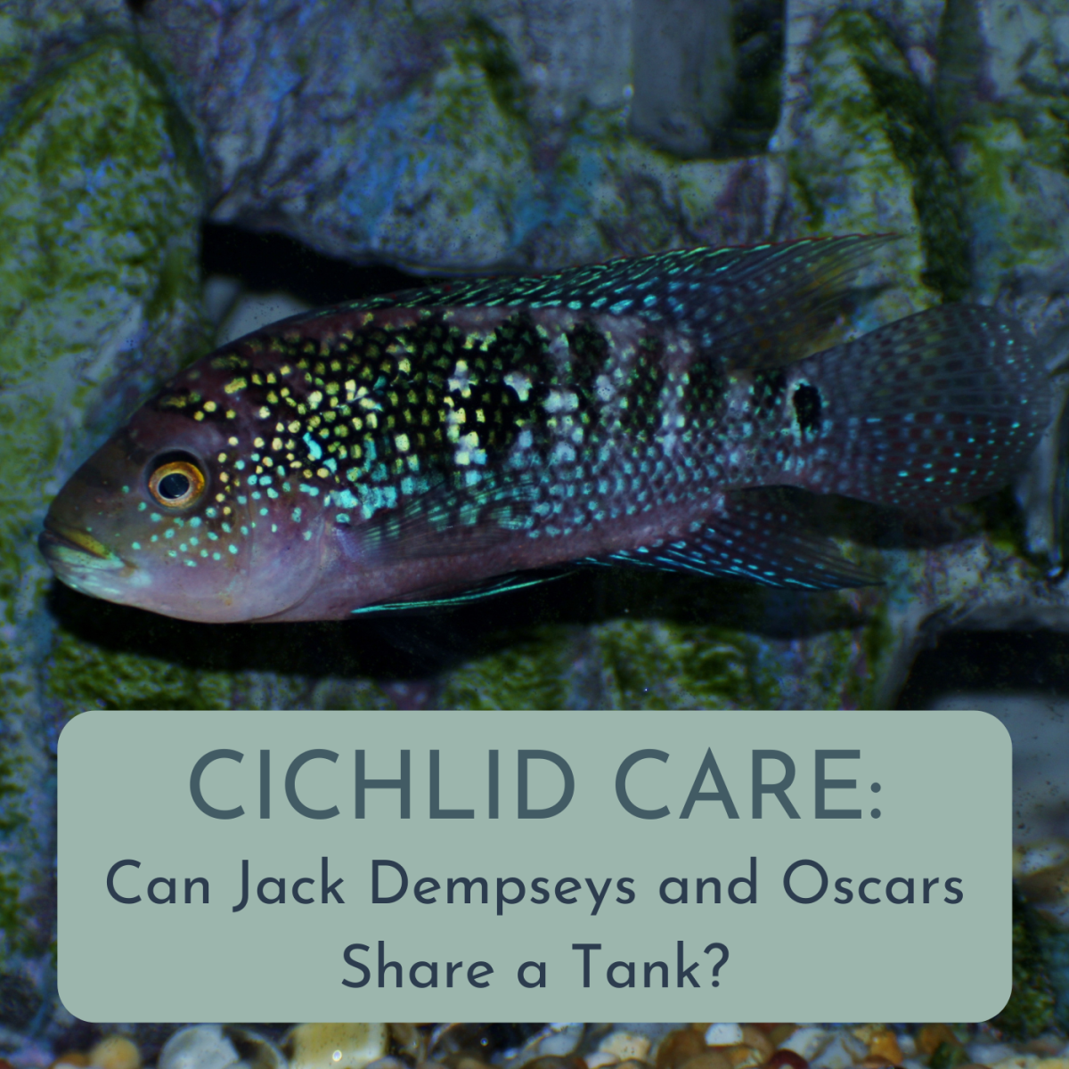 Can a Jack Dempsey and an Oscar Fish Live Together?