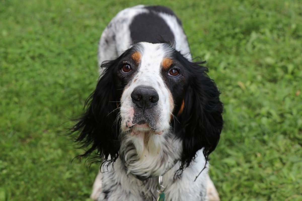 Pictured above is a beautiful English Setter puppy.