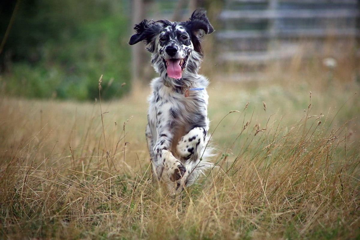 English Setter being silly.
