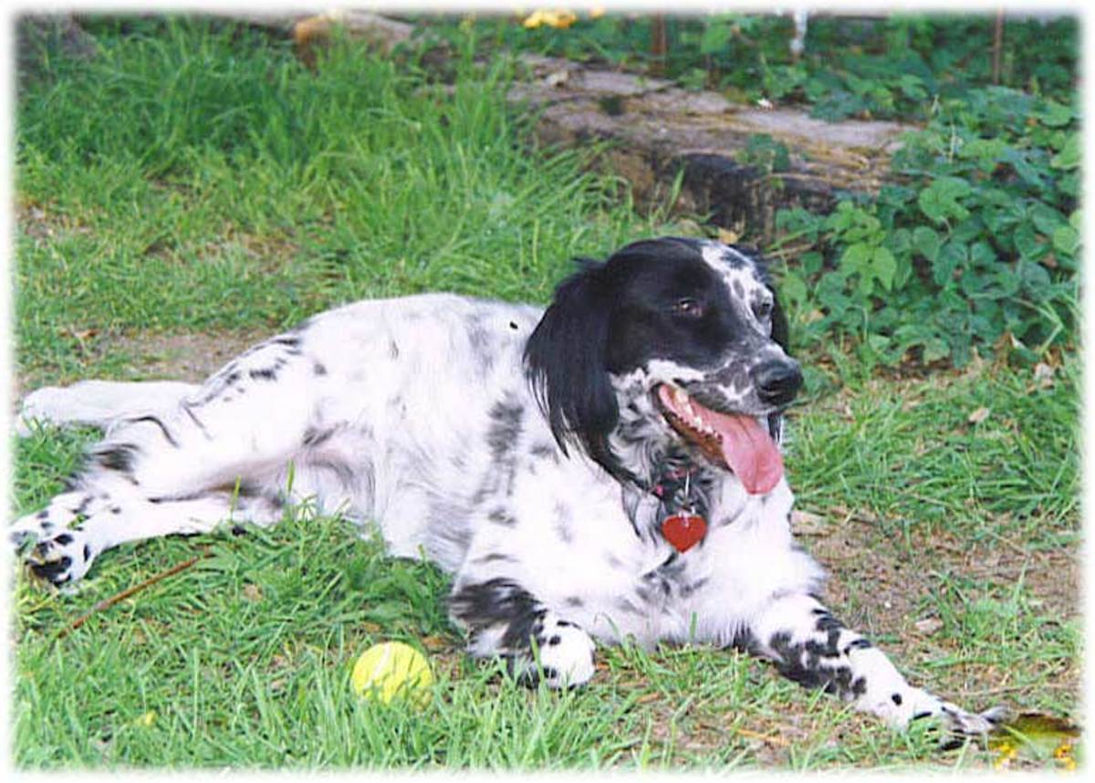 An adorable English Setter taking a break from playing.