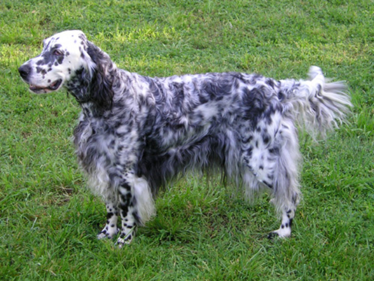 "Side profile of the English Setter.  Notice the dog's beautiful ""feathery"" coat."