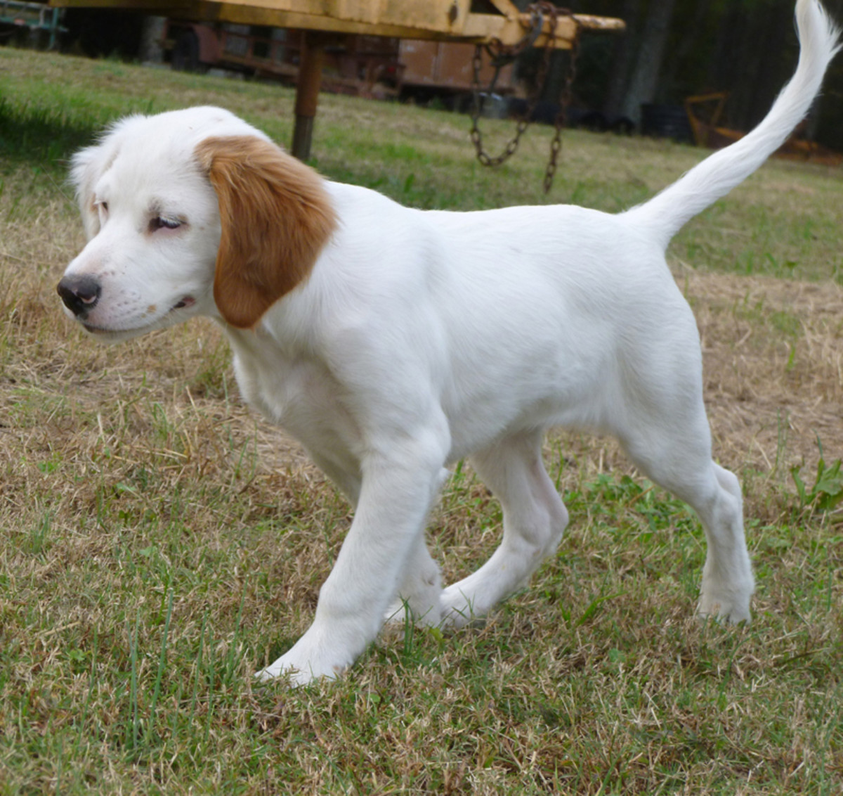 Pictured above is a tricolor English Setter puppy.  At this stage of growth, the puppy's markings have not fully developed.