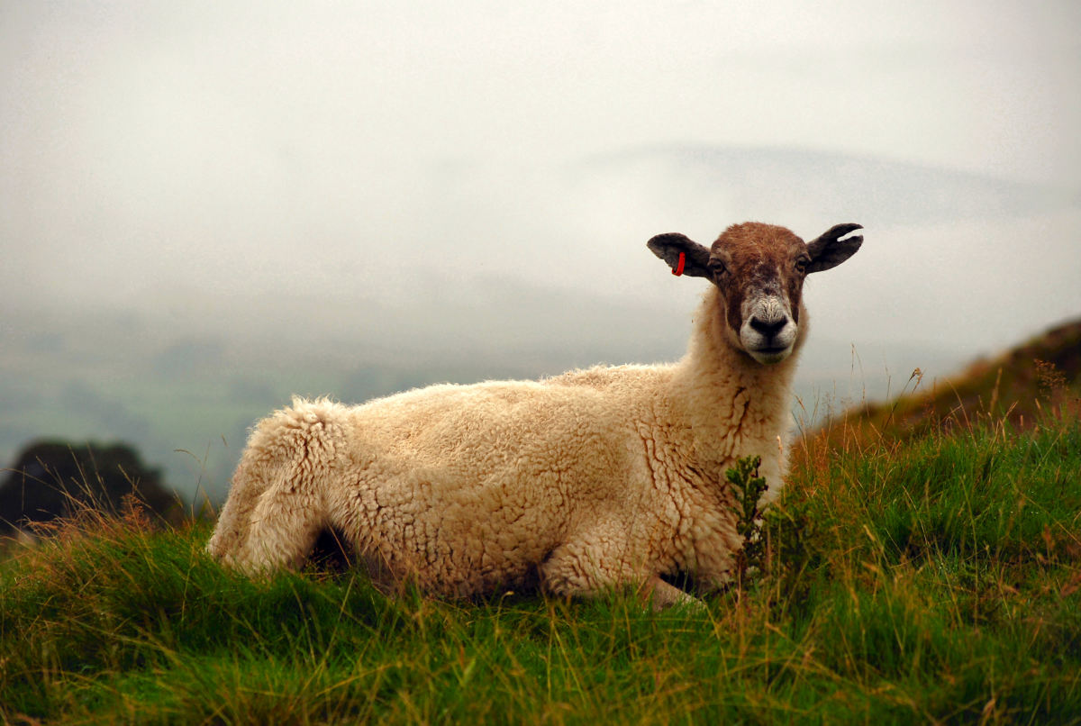 Notice the sheep tagged identifying that it belongs to someone