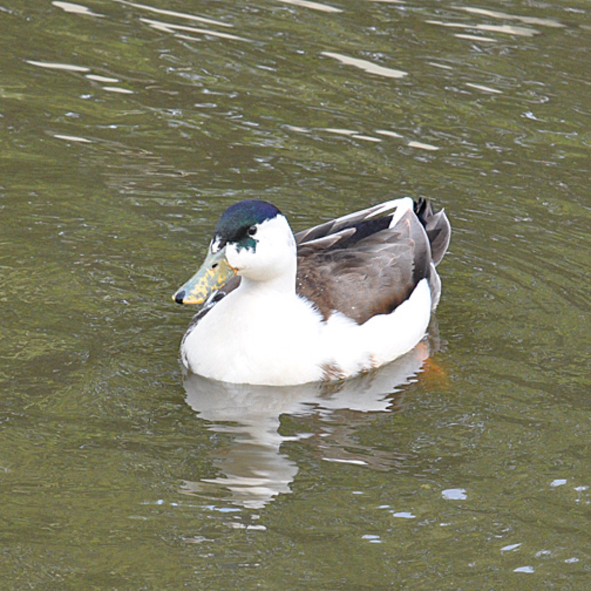 'Splashed' Blue Swedish Duck