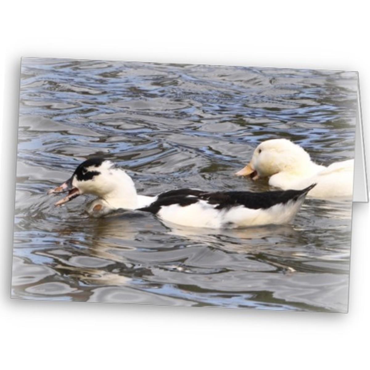 Blue Swedish ducks. T