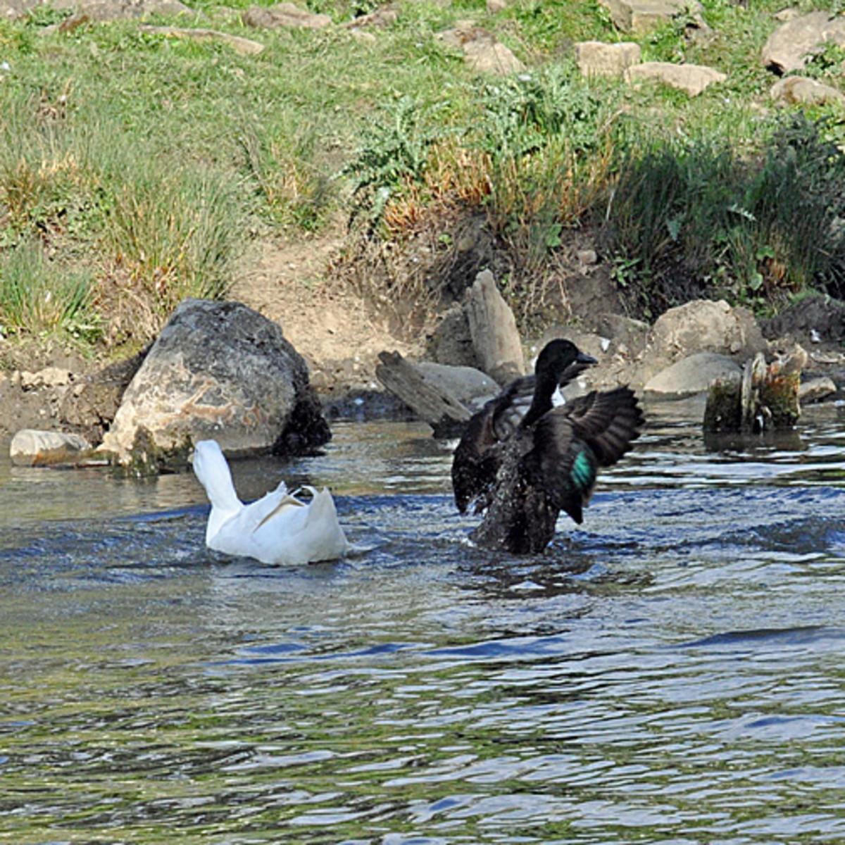 Blue Swedish ducks
