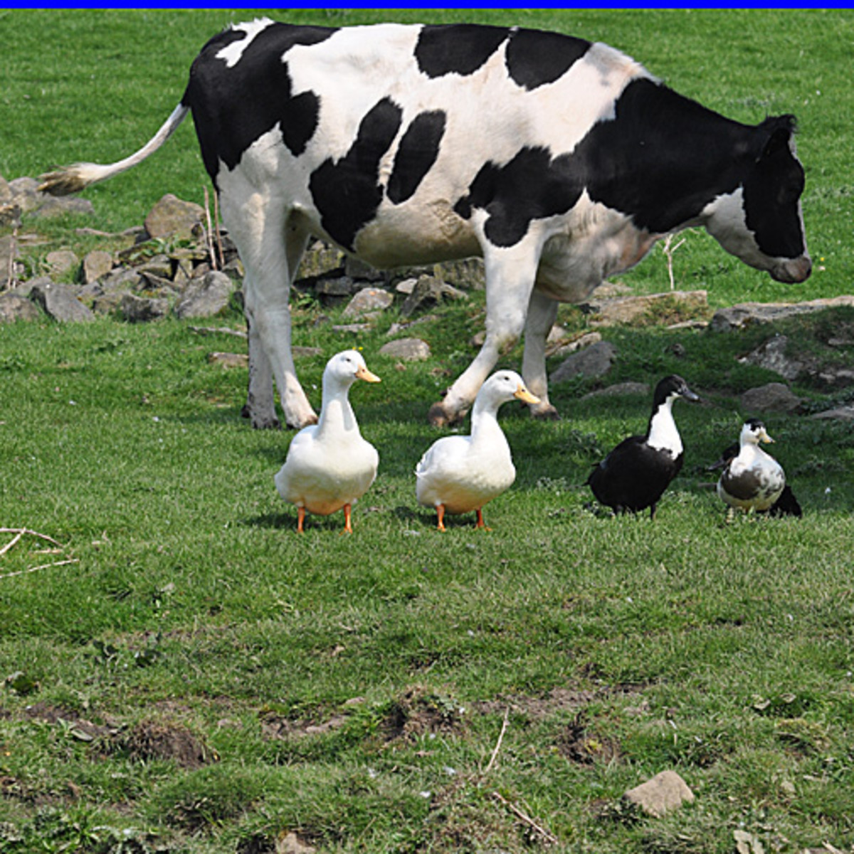 Cow, Aylesbury ducks, Blue Swedish ducks 'Friends and Neighbours'