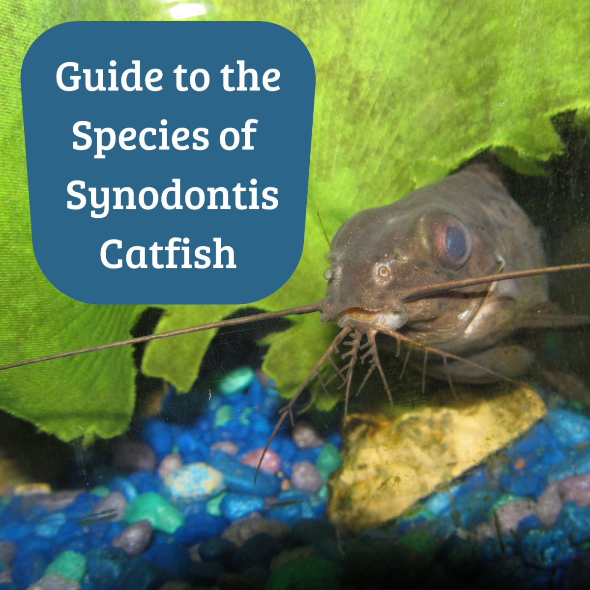 There are many species of this catfish. Shown above is Synodontis eupterus, which you can read about below.