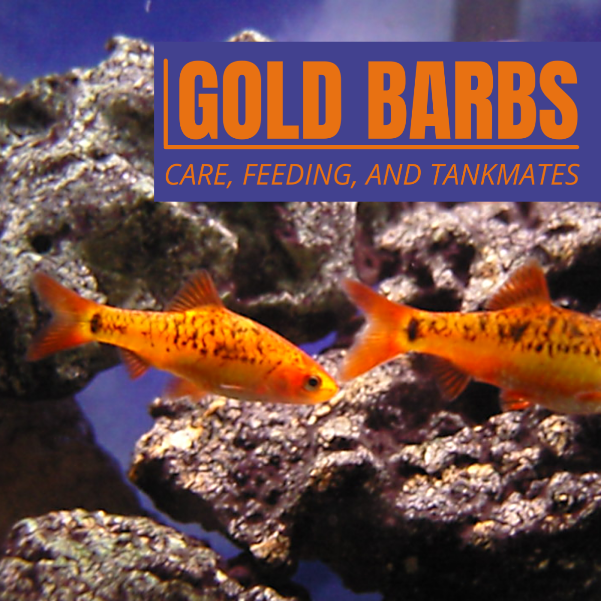Gold barbs are perfect for beginner aquarists or those looking for small, semi-aggressive schooling fish for a community tank.
