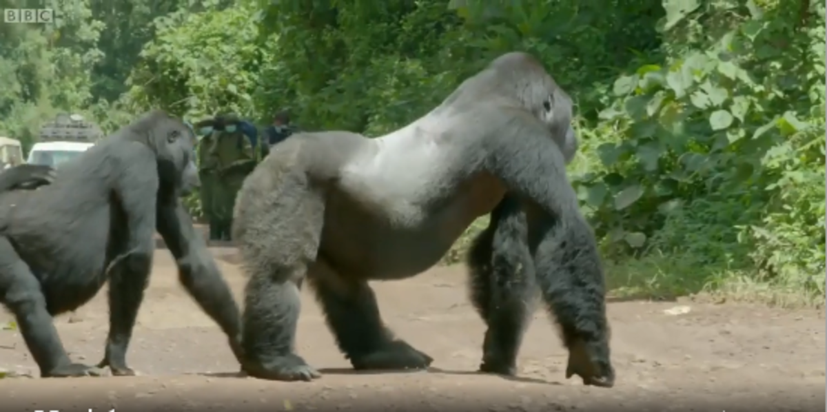 How This Gorilla Define Leadership and Responsibility