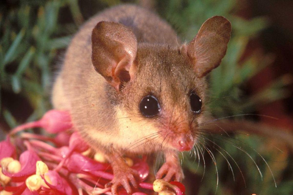Western Pygmy Possum.