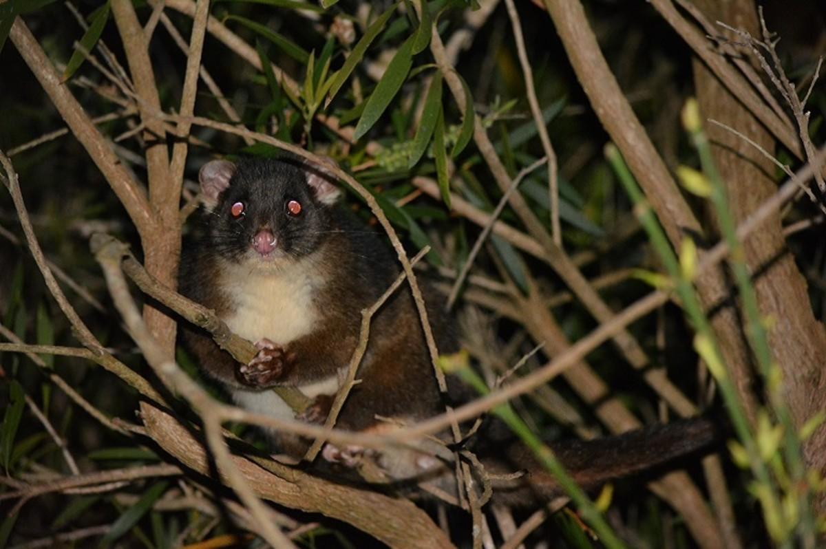 Western  Ringtail Possum