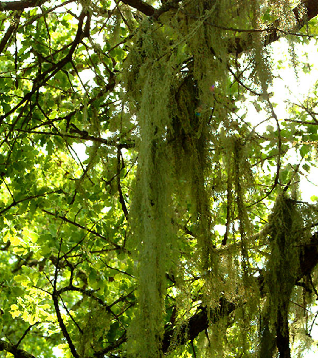 Some naturally growing mosses can add dramatic flair to hanging baskets!