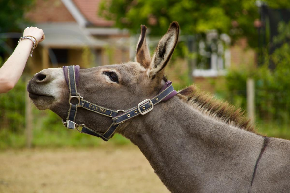 5 Disadvantages of Mules