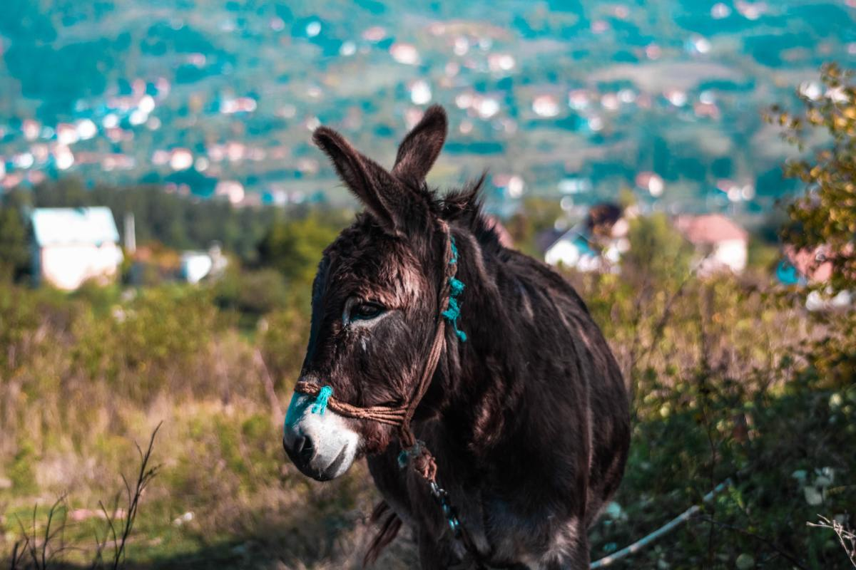 A mule is the result of a jack (male donkey) breeding with a mare. A hinny is the result of a stallion breeding with a jenny (female donkey).