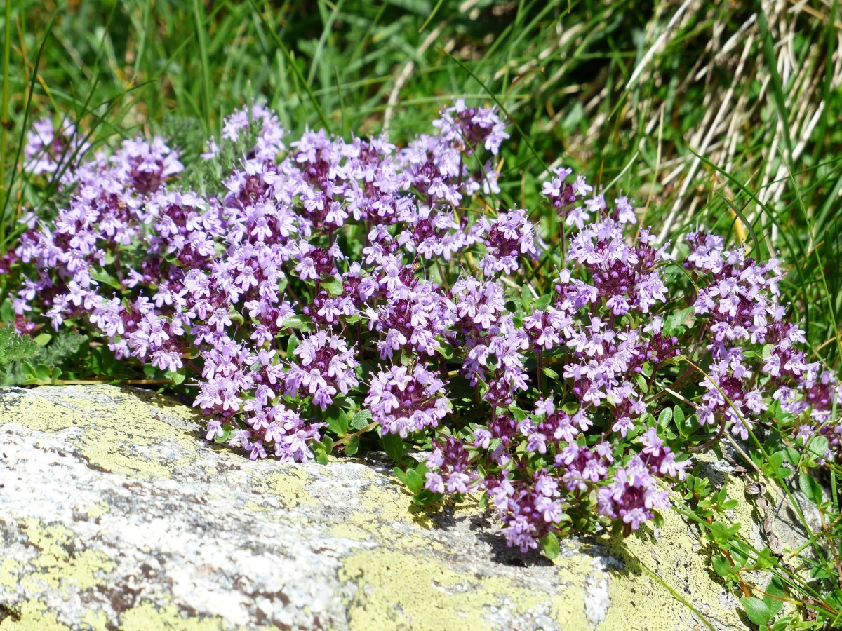 Thyme blossoms