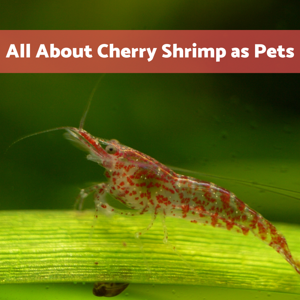 Shrimp actually make fun and interesting pets!