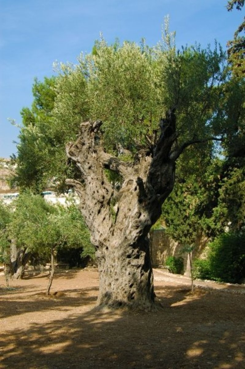 2000 YEAR OLD OLIVE TREE IN THE GARDEN OF GETHSEMANE