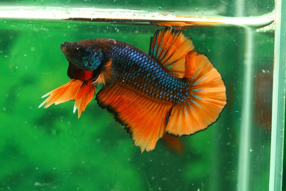 Some fish are mostly idiot-proof, like the beautiful Betta.
