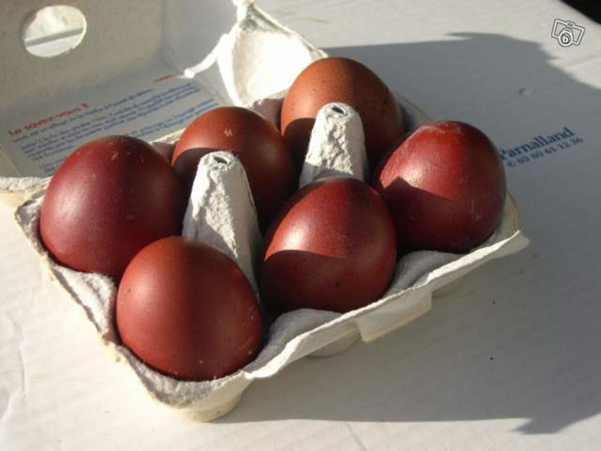 Maran eggs are the darkest brown of any eggs. As more eggs are produced by the hen, the color fades within the season.