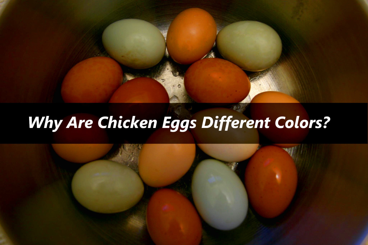 Hens may lay eggs in many different colors, depending on their breed.